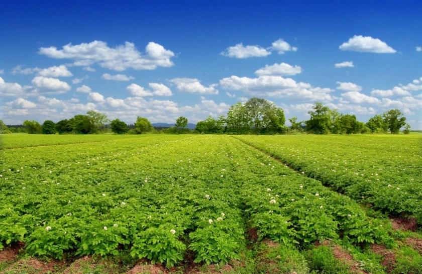 Green potatoes field end blue sky